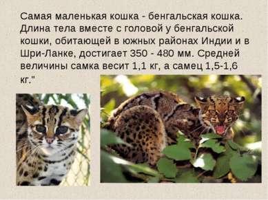 Самая маленькая кошка - бенгальская кошка. Длина тела вместе с головой у бенг...