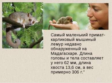 Самый маленький примат- карликовый мышиный лемур недавно обнаруженный на Мада...