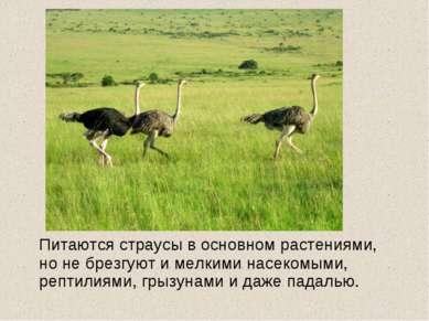 Питаются страусы в основном растениями, но не брезгуют и мелкими насекомыми, ...