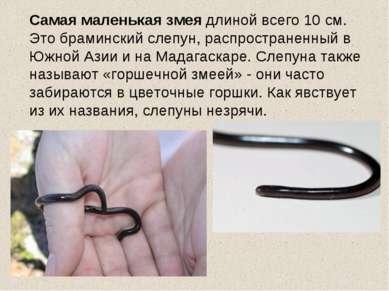 Самая маленькая змея длиной всего 10 см. Это браминский слепун, распространен...
