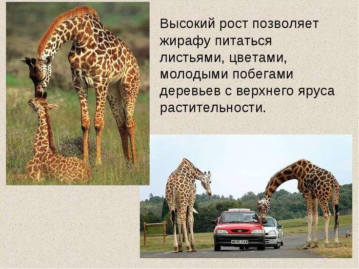 Высокий рост позволяет жирафу питаться листьями, цветами, молодыми побегами д...