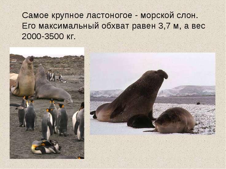 Самое крупное ластоногое - морской слон. Его максимальный обхват равен 3,7 м,...