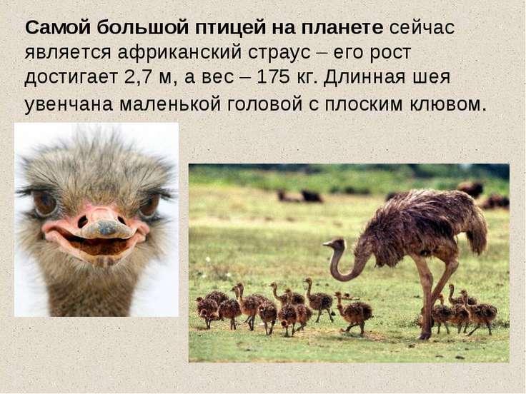 Самой большой птицей на планете сейчас является африканский страус – его рост...