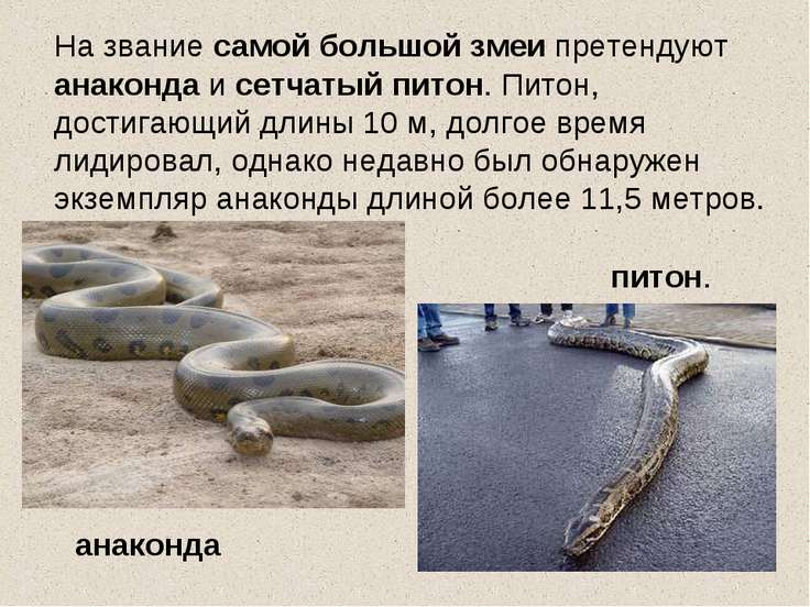 На звание самой большой змеи претендуют анаконда и сетчатый питон. Питон, дос...