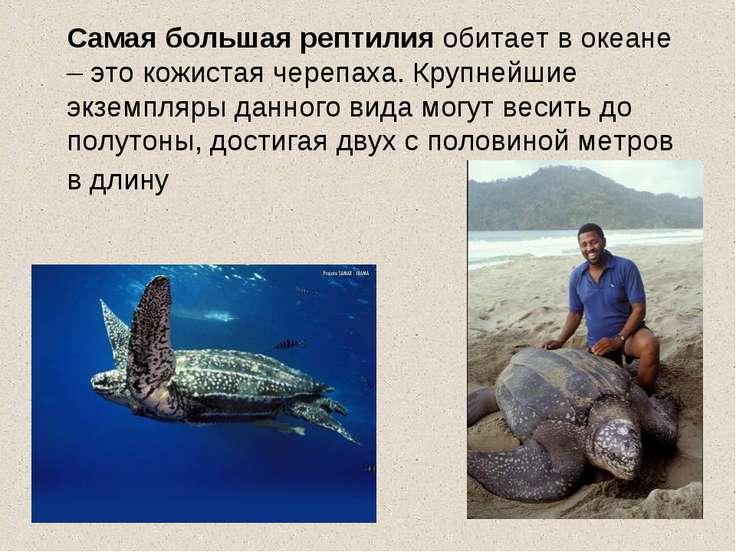 Самая большая рептилия обитает в океане – это кожистая черепаха. Крупнейшие э...
