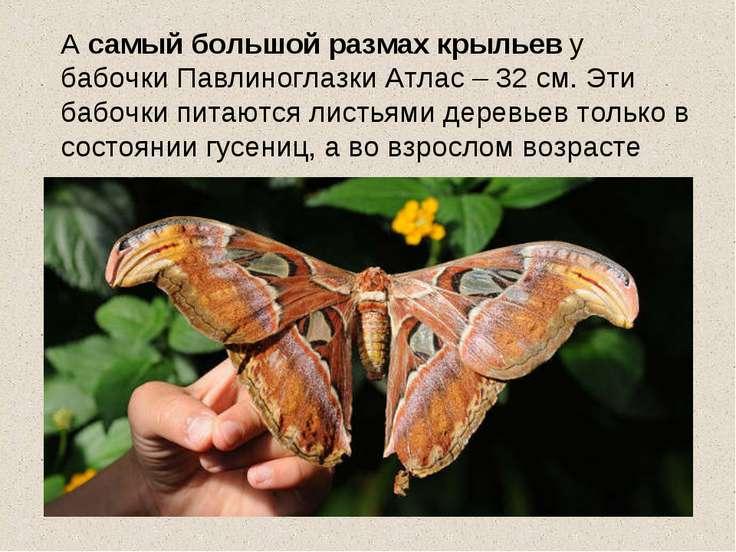 А самый большой размах крыльев у бабочки Павлиноглазки Атлас – 32 см. Эти баб...