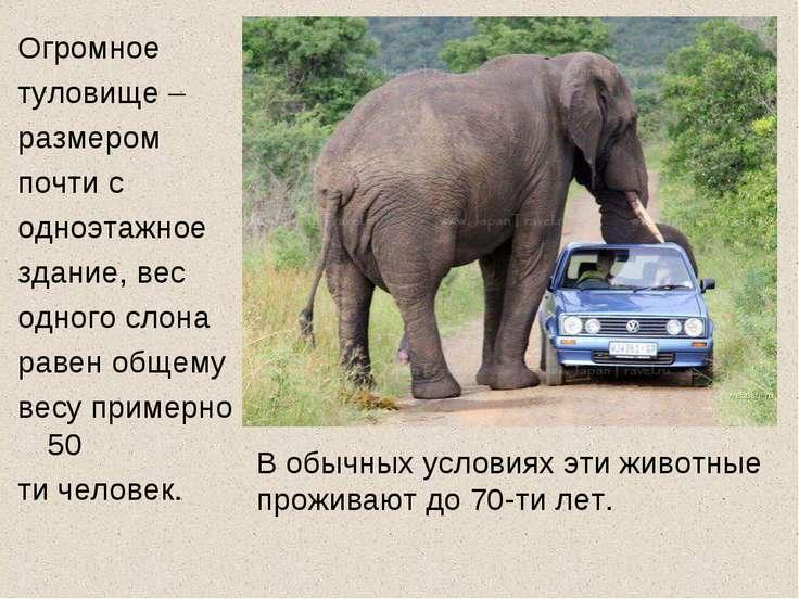 Огромное туловище – размером почти с одноэтажное здание, вес одного слона рав...