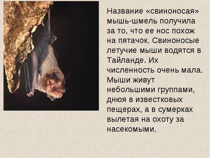 Название «свиноносая» мышь-шмель получила за то, что ее нос похож на пятачок....