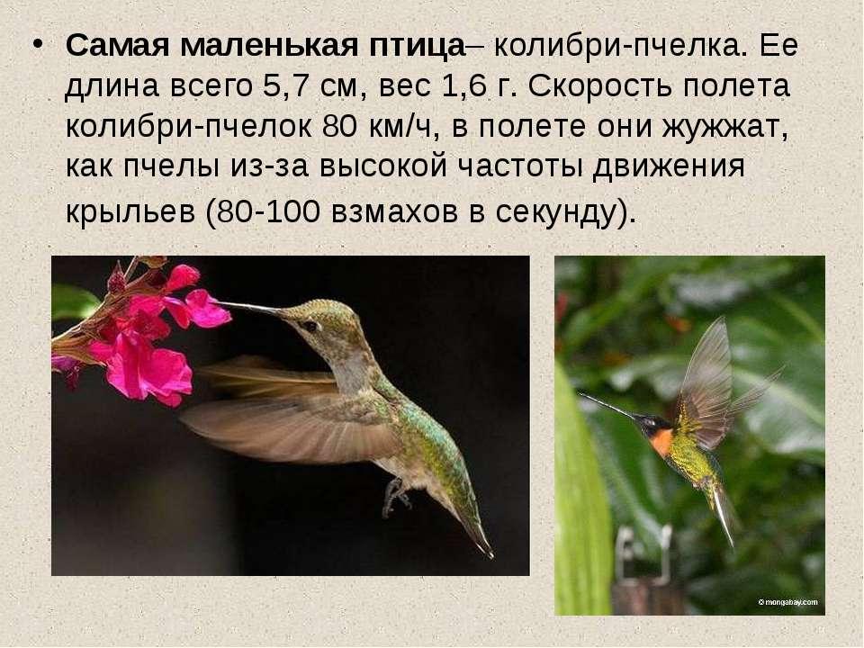 Самая маленькая птица– колибри-пчелка. Ее длина всего 5,7 см, вес 1,6 г. Скор...
