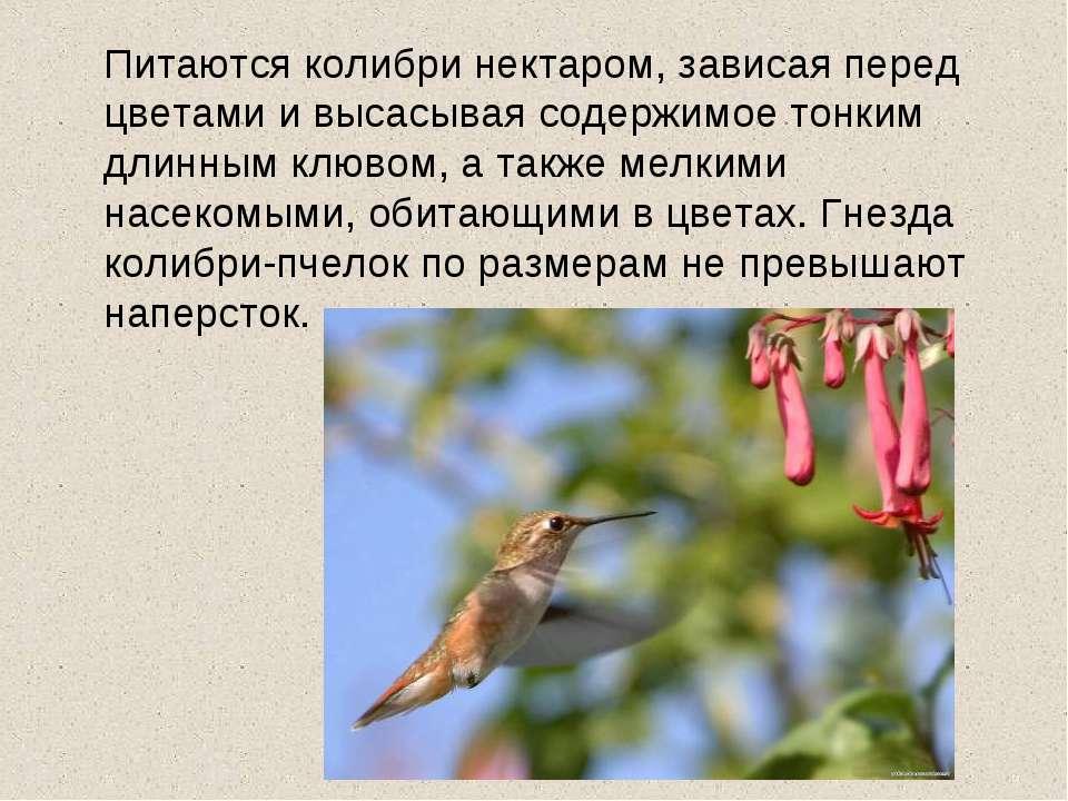 Питаются колибри нектаром, зависая перед цветами и высасывая содержимое тонки...