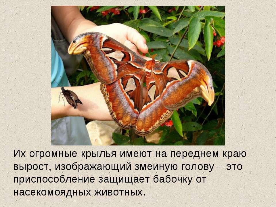 Их огромные крылья имеют на переднем краю вырост, изображающий змеиную голову...