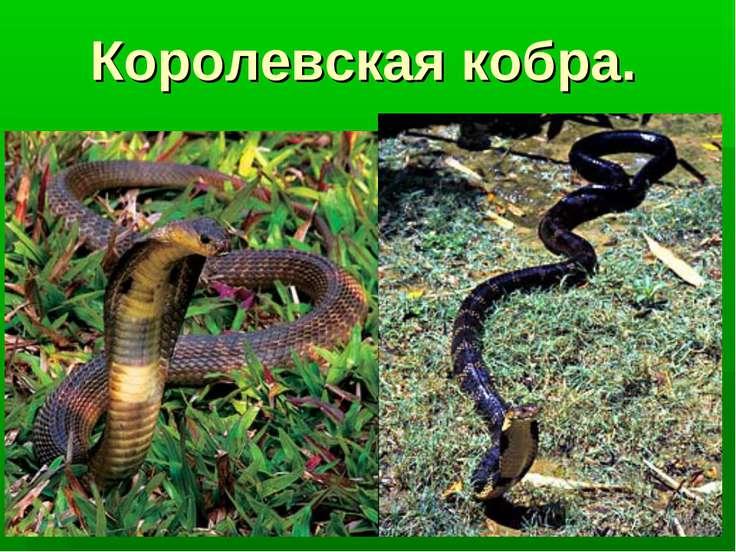 Королевская кобра.
