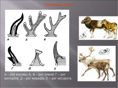 Строение кожи А – рог коровы; Б, В – рог оленя; Г – рог вилорога; Д – рог жир...