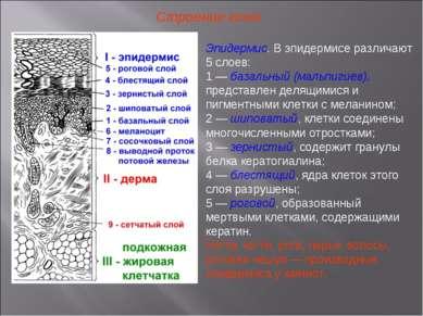 Строение кожи Эпидермис. В эпидермисе различают 5 слоев: 1 — базальный (мальп...