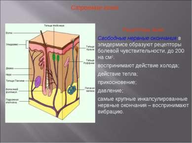 Строение кожи Рецепторы кожи: Свободные нервные окончания в эпидермисе образу...