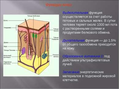 Функции кожи Выделительная функция осуществляется за счет работы потовых и са...
