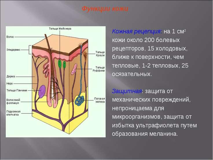 Функции кожи Кожная рецепция: на 1 см2 кожи около 200 болевых рецепторов, 15 ...