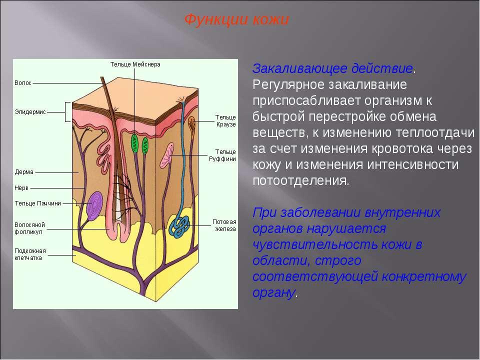 Функции кожи Закаливающее действие. Регулярное закаливание приспосабливает ор...