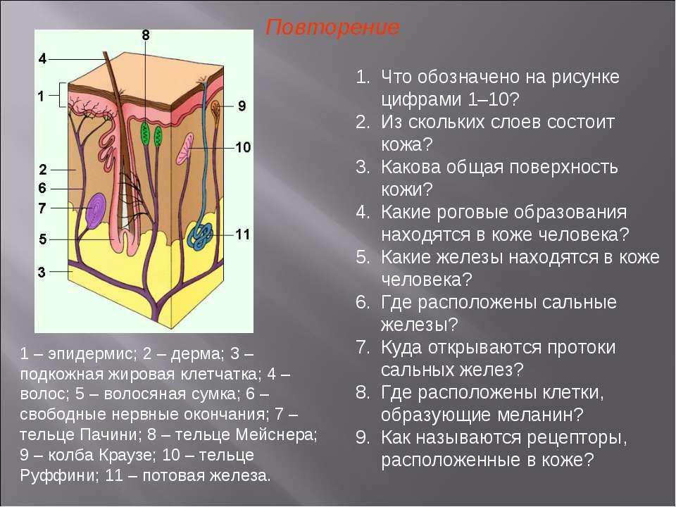 Повторение Что обозначено на рисунке цифрами 1–10? Из скольких слоев состоит ...