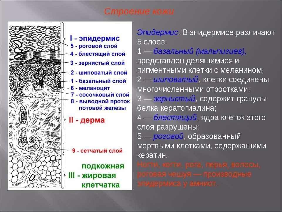 Клетки Эпидермиса Шиповатые фото