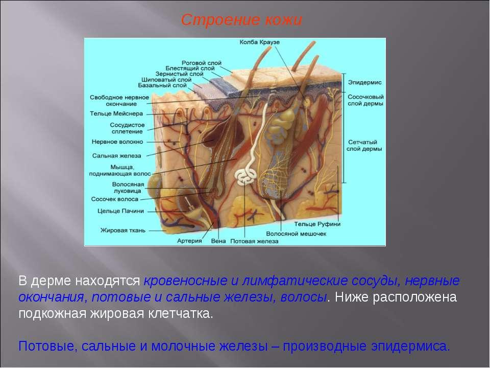 Строение кожи В дерме находятся кровеносные и лимфатические сосуды, нервные о...