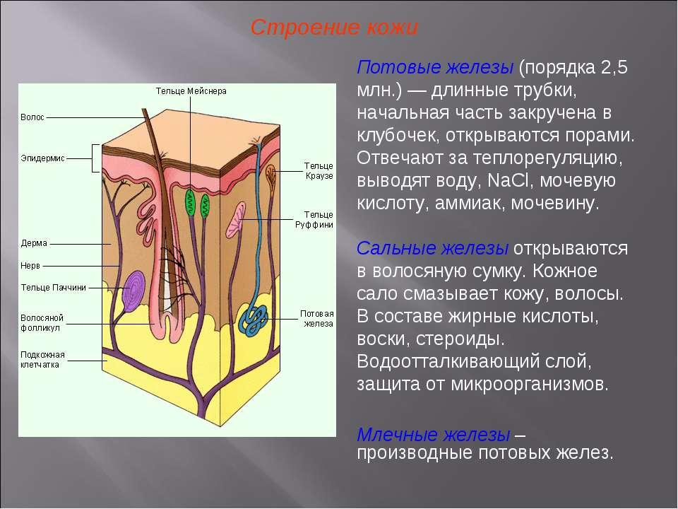 Строение кожи Потовые железы (порядка 2,5 млн.) — длинные трубки, начальная ч...