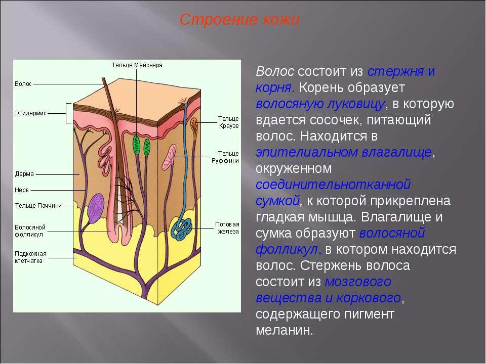 Строение кожи Волос состоит из стержня и корня. Корень образует волосяную лук...