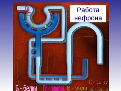 Работа нефрона
