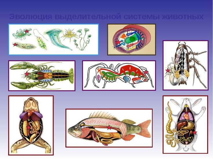 Эволюция выделительной системы животных