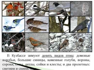 В Кузбассе зимуют девять видов птиц: домовые воробьи, большие синицы, каменны...