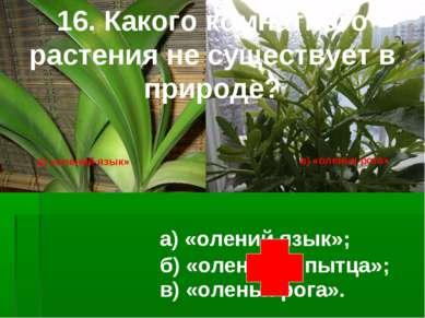 16. Какого комнатного растения не существует в природе? а) «олений язык»; в) ...