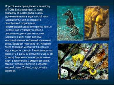 Морской конек принадлежит к семейству ИГЛОВЫЕ (Syngnathidae). К этому семейст...
