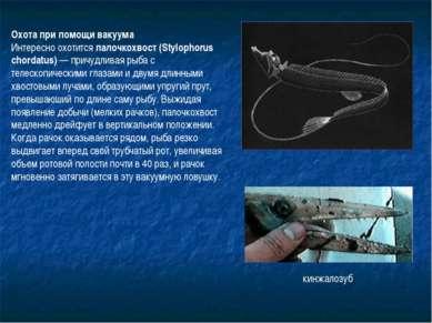 Охота при помощи вакуума Интересно охотится палочкохвост (Stylophorus chordat...