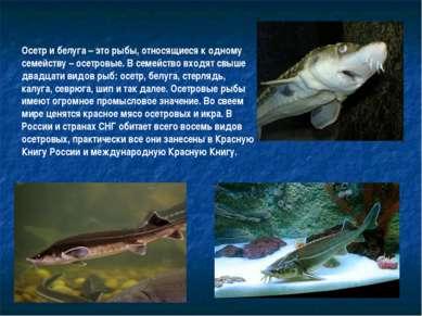 Осетр и белуга – это рыбы, относящиеся к одному семейству – осетровые. В семе...