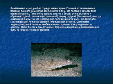 Камбаловые – род рыб из отряда мягкоперых. Главный отличительный признак данн...