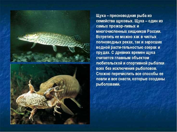 Щука – пресноводная рыба из семейства щуковых. Щука – один из самых прожор-ли...