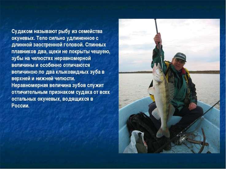 Судаком называют рыбу из семейства окуневых. Тело сильно удлиненное с длинной...