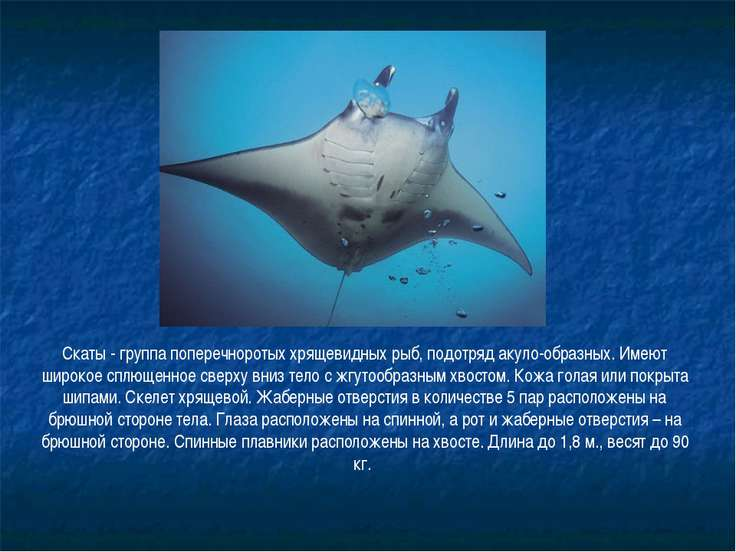 Скаты - группа поперечноротых хрящевидных рыб, подотряд акуло-образных. Имеют...