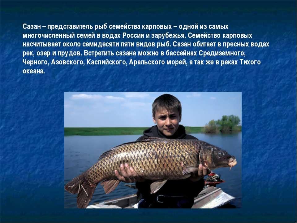 Сазан – представитель рыб семейства карповых – одной из самых многочисленный ...