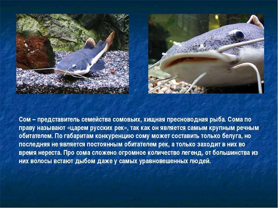 Сом – представитель семейства сомовьих, хищная пресноводная рыба. Сома по пра...