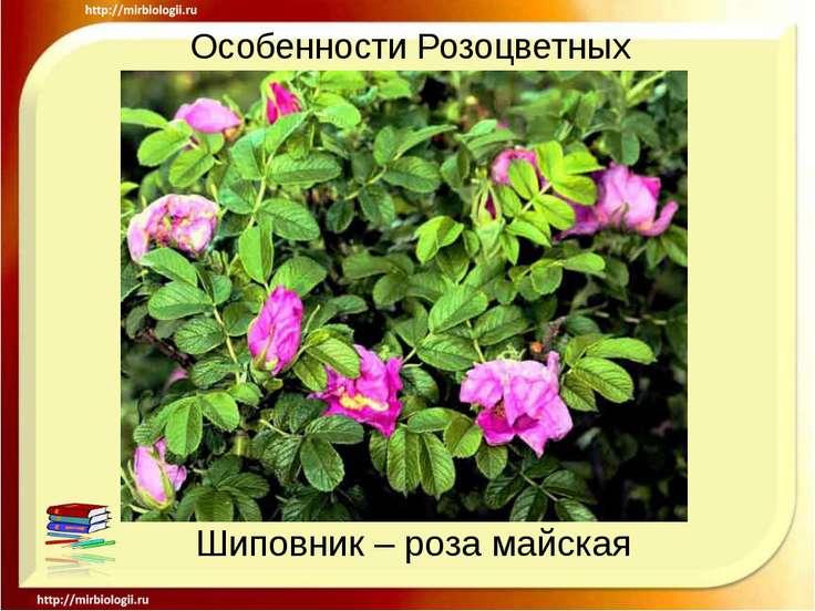 Особенности Розоцветных Шиповник – роза майская