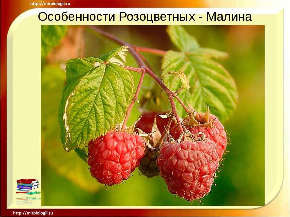 Особенности Розоцветных - Малина .