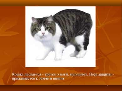 Кошка ласкается - трётся о ноги, мурлычет. Поза защиты - прижимается к земле ...