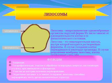 Лизосомы - микроскопические одномембранные органеллы округлой формы Их число ...