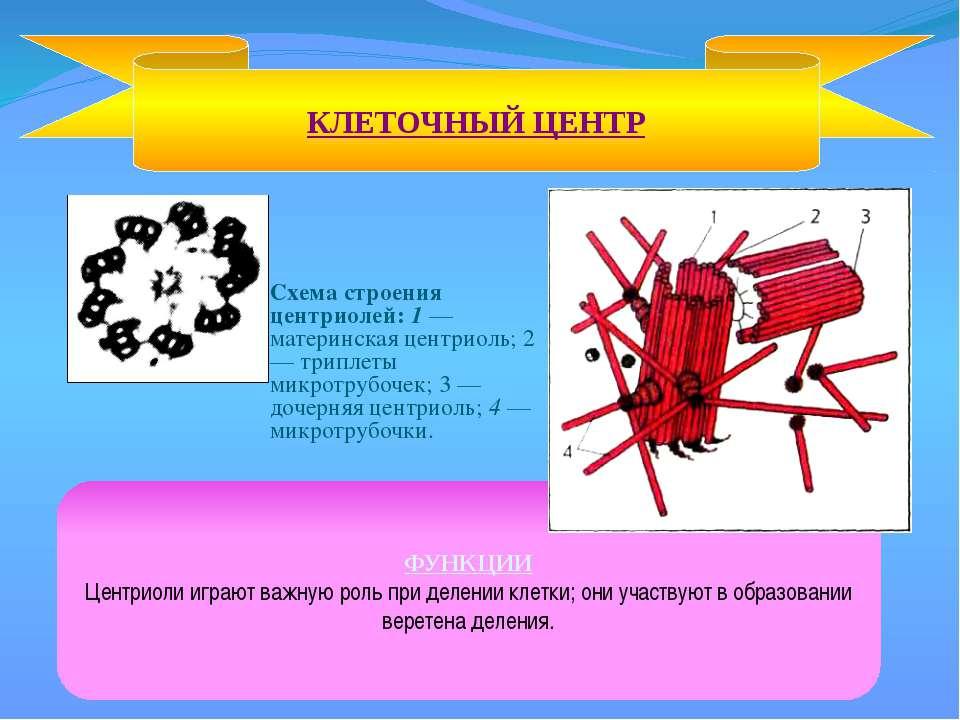 Схема строения центриолей: 1 — материнская центриоль; 2 — триплеты микротрубо...