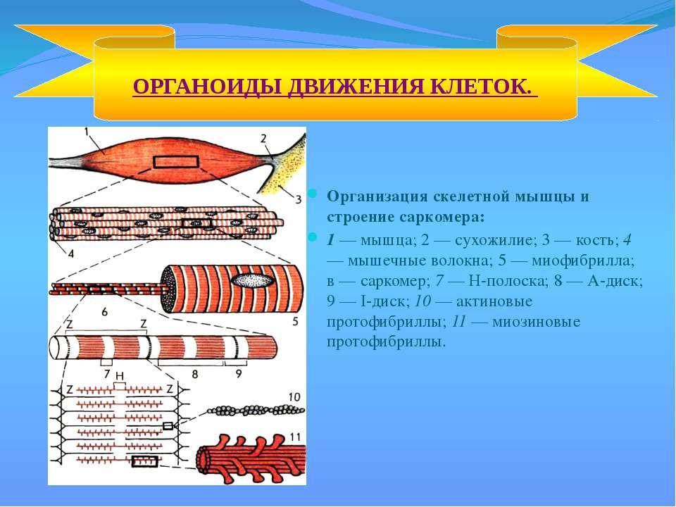 Организация скелетной мышцы и строение саркомера: 1 — мышца; 2 — сухожилие; 3...