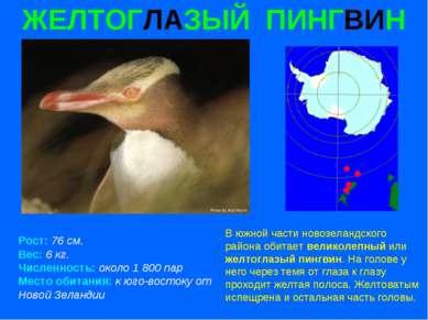 ЖЕЛТОГЛАЗЫЙ ПИНГВИН Рост: 76 см. Вес: 6 кг. Численность: около 1 800 пар Мест...