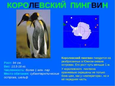 КОРОЛЕВСКИЙ ПИНГВИН Рост: 94 см. Вес: 13,5-16 кг. Численность: более 1 млн. п...