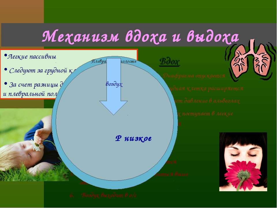 Механизм вдоха и выдоха Легкие пассивны Следуют за грудной клеткой За счет ра...
