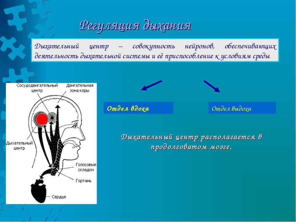Регуляция дыхания Дыхательный центр – совокупность нейронов, обеспечивающих д...